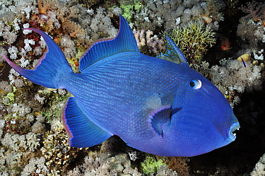 Blue triggerfish (Pseudobalistes fuscus) Shark Reef to Jolande Reef, Ras Mohammed National Park, Egypt, Red Sea.