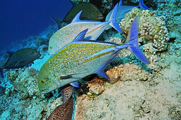 Bluefin trevally (Caranx melampygus) mixed-species foraging and hunting behaviour, with Giant moray (Gymnothorax javanicus).  Shark Reef to Jolande, Ras Mohammed National Park, Egypt, Red Sea.