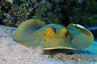 Bluespotted ribbontail ray (Taeniura lymma) Jolande Reef, Ras Mohammed National Park, Egypt, Red Sea.