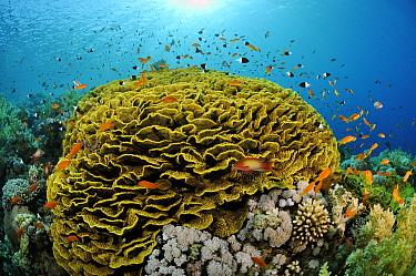 Coral reef with Anthias fish (Pseudanthias  squamipinnis) and Twotone chromis (Chromis dimidiata) around Yellow scroll coral (Lettuce coral) (Turbinaria reniformis)   Jackson Reef, Straits of Tiran, R...