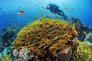 Coral reef with Anthias fish (Pseudanthias  squamipinnis) and Twotone chromis (Chromis dimidiata) around Yellow scroll coral (Lettuce coral) (Turbinaria reniformis). With diver  Jackson Reef, Straits...