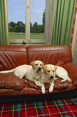 Two Yellow Labrador retrievers lying side by side on sofa below window in house. Property released