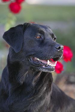 Black Labrador Retriever, portrait in garden