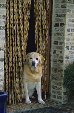 Yellow Labrador Retriever in doorway with bead curtain. Property released.