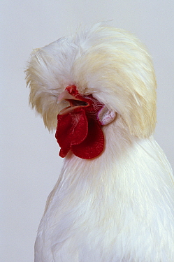 Padoue White Padovana Hen, cock crowing, studio portrait