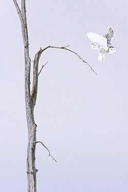 Snowy owl (Bubo scandiacus)  Female taking off the winter tree, Quebec, Canada