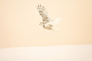 Snowy owl (Bubo scandiacus)  female flying, Quebec, Canada, February.