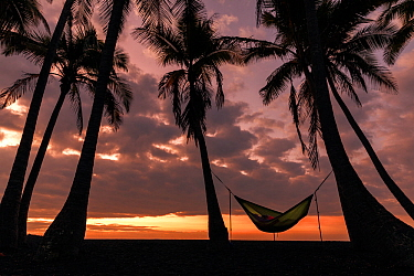 Coconut trees (Cocos nucifera) silhouetted against the sunrise with person sleeping in a hammock, Punalu'u Beach Park, Hawaii. December 2016.
