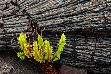 Ama'u fern (Sadleria cyatheoides) is the first plant to return to a lava field, Hawaii Volcanoes National Park, Hawaii. December 2016.