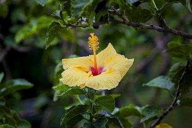State flower of Hawaii, the Yellow Hawaiian hibiscus also known as pua aloalo or ma'o hau hele in the Hawaiian language, Big Island Hawaii. December