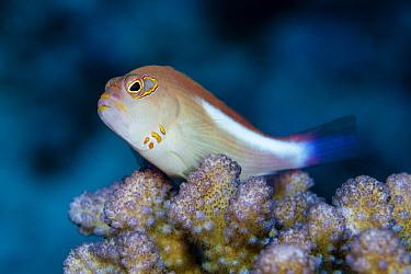 Arc-eye wawkfish (Paracirrhites arcatus) at Ono-i-Lau / Ono-i-Tonga, Lau Island Group, Fiji.