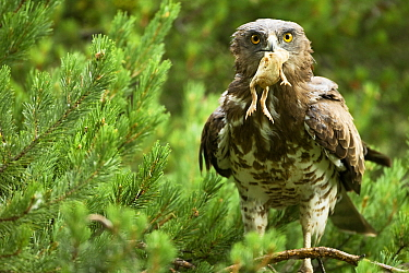 Short toed snake eagle  (Circaetus gallicus)  with a toad prey, Verdon, France, July.