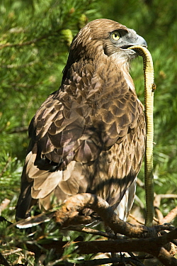 Short toed snake eagle  (Circaetus gallicus) with snake to feed young, Verdon, France, July.