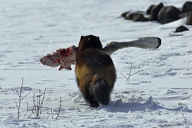Wolverine (Gulo gulo) scavenging Siberian tundra reindeer (Rangifer tarundus sibericus) carcass, Putoransky State Nature Reserve, Putorana Plateau, Siberia, Russia