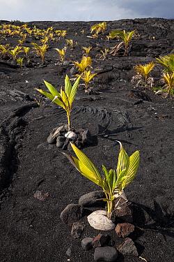 Coconut trees planted in a lava field near Kaimu, Hawaii