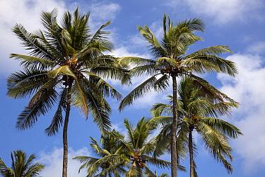 Coconut trees (Cocos nucifera), Hawaii.