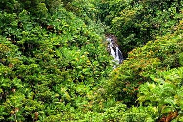 Nanue Falls along Akoni Pule Highway (Highway 270) with native Coconut trees (Cocos nucifera) and invasive African tulip trees (Spathodea campanulata), Hamakua Coast, Hawaii. December 2016.