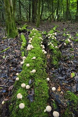 Stump puffball (Lycoperdon pyriforme) growing on fallen log in woodland, Sussex, England, UK, September.