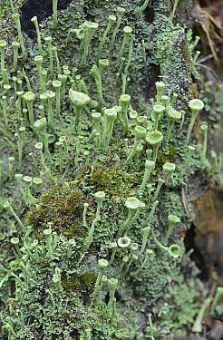 Lichen (Cladonia fimbriata) Surrey, England, UK. August.