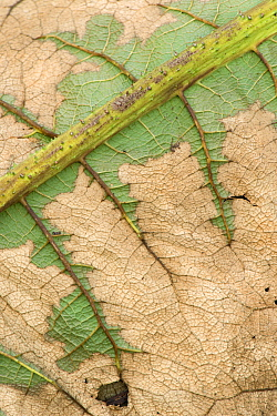 Chilean rhubarb (Gunnera manicata) leaf in autumn showing remnant of green.
