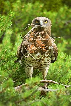 Short toed snake eagle  (Circaetus gallicus) building its nest, Verdon, France, France. July.