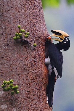 Oriental pied hornbill (Anthracoceros albirostris)  male with food outside nesting hole, Tongbiguan nature reserve, Dehong Prefecture, Yunnan Province, China. April