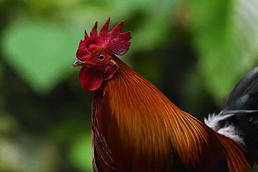 Red jungle fowl (Gallus gallus) male, Tongbiguan Nature Reserve, Dehong Prefecture, Yunnan Province, China, April