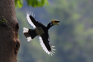 Oriental pied hornbill (Anthracoceros albirostris) male taking off from nest hole, Tongbiguan Nature Reserve, Dehong Prefecture, Yunnan Province, China. April