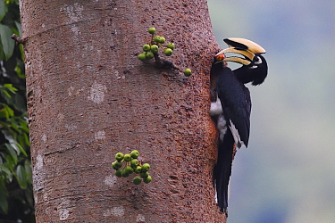 Oriental Pied hornbill (Anthracoceros albirostris) with berry outside nest hole, Tongbiguan Nature Reserve, Dehong Prefecture, Yunnan Province, China, April.