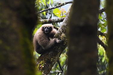 Skywalker gibbon monkey (Hoolock tianxing) female sitting in a tree at Tongbiguan Nature Reserve, Dehong Prefecture, Yunnan province, China, May.