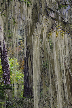 Lichen (Usnea longissima) hanging from a tree. Temperate cloud forest sceneries, near the glacier lake at  Mount Bawu Bameng, in the Meili Snow Mountain National park, Yunnan, China. October 2017.