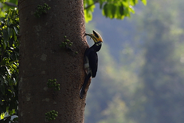 Oriental pied hornbill (Anthracoceros albirostris) feeding on a lizard at Tongbiguan Nature Reserve, Dehong Prefecture, Yunnan Province, China, April.
