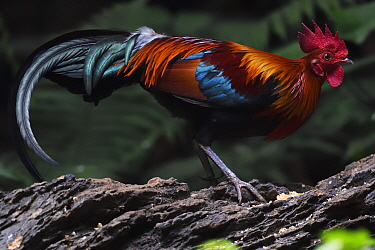 Red jungle fowl (Gallus gallus) Tongbiguan Nature Reserve, Dehong Prefecture, Yunnan Province, China, April.
