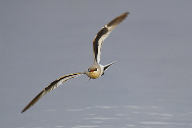 Small pratincole (Glareola lactea) flying over water at Tongbiguan Nature Reserve, Dehong prefecture, Yunnan province, China, May.