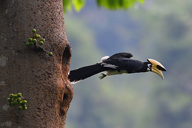 Oriental pied hornbill (Anthracoceros albirostris) taking off from nest hole, Tongbiguan Nature Reserve, Dehong Prefecture, Yunnan Province, China. April