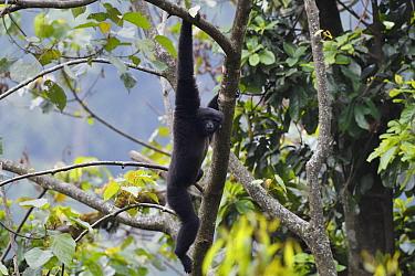 Skywalker gibbon monkey (Hoolock tianxing) hanging from  tree, Tongbiguan Nature Reserve, Dehong prefecture, Yunnan province, China, May.