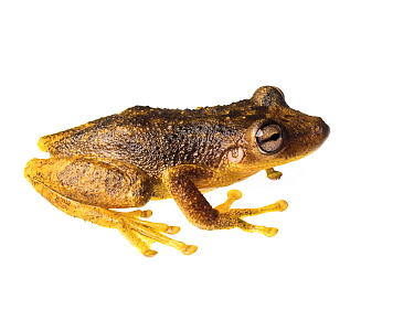 Treefrog (Scinax sp.) Tapirai, Sao Paulo, Brazil. Atlantic forest. Meetyourneighbours.net project.