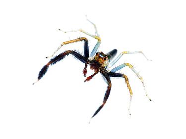 Jumping spider (Lyssomanes sp.) male,  Tapirai, Sao Paulo, Brazil. Atlantic forest. Meetyourneighbours.net project.