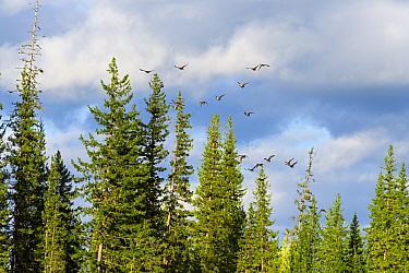 Steller's eider  (Polysticta stelleri) flock  flying in the upper reaches of the Lena River. Flock of ducks, Baikalo-Lensky Reserve, Siberia, Russia, September