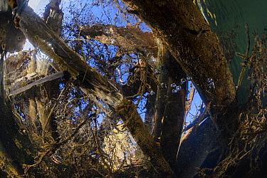 Underwater view of fallen trees in upper reaches of the Lena River, Baikalo-Lensky Reserve, Siberia, Russia, September