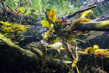 Underwater view of vegetation and leaves in the upper reaches of the Lena River, Baikalo-Lensky Reserve, Siberia, Russia, September