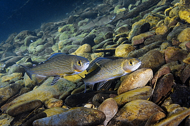 Arctic grayling (Thymallus arcticus) in upper reaches of the Lena River, Baikalo-Lensky Reserve, Siberia, Russia, September