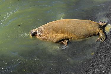 Walrus (Odobenus rosmarus) male defecating in water at edge of colony, Vaygach Island, Arctic, Russia, July