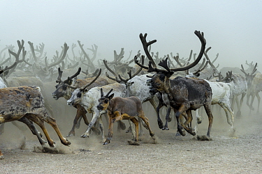 Nenet people herding Reindeer (Rangifer tarandus) Nenets Autonomous Okrug, Arctic, Russia, July
