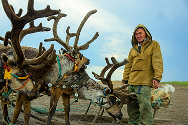 Nenet herdsman with Reindeer (Rangifer tarandus), Nenets Autonomous Okrug, Arctic, Russia, July 2017