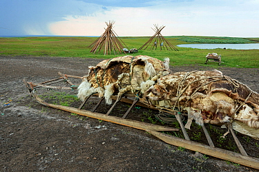 Reindeer skins on sled in Nenet camp,  Nenets Autonomous Okrug, Arctic, Russia, July 2017.
