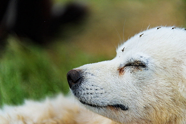 Dog with Mosquitos, in temporary reindeer herders' camp, Nenets Autonomous Okrug, Arctic, Russia, July
