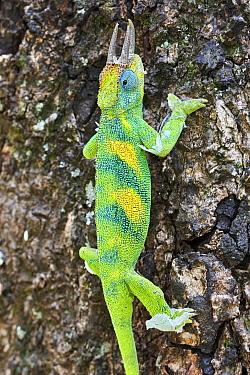 Jackson's three-horned chameleon (Trioceros jacksonii) climbing on tree. Bwindi Impenetrable Forest, Uganda.;Jackson's three-horned chameleon (Trioceros jacksonii) climbing on tree. Bwindi Impenetrabl...