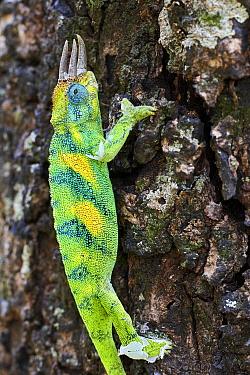 Jackson's three-horned chameleon (Trioceros jacksonii) climbing on tree. Bwindi Impenetrable Forest, Uganda.
