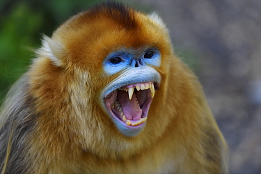 Portrait of a Golden snub-nosed monkey (Rhinopithecus roxellana) screaming, showing its teeth in Foping Nature Reserve, Shaanxi, China. Endangered species